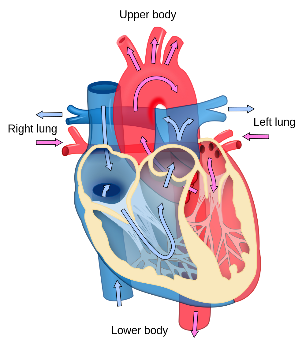 Heart with muscles clipart vector freeuse Heart Diagram Unlabeled Group (58+) vector freeuse