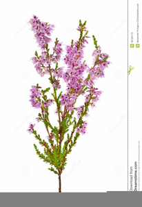 Heather clipart clip art library stock Clipart Heather Flower   Free Images at Clker.com - vector ... clip art library stock