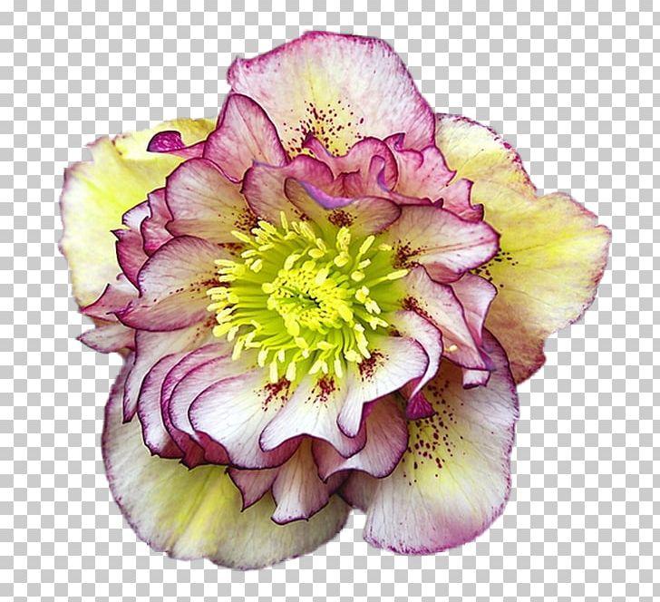 Helleborus clipart clip art Helleborus Orientalis Cottage Garden Helleborus Niger ... clip art
