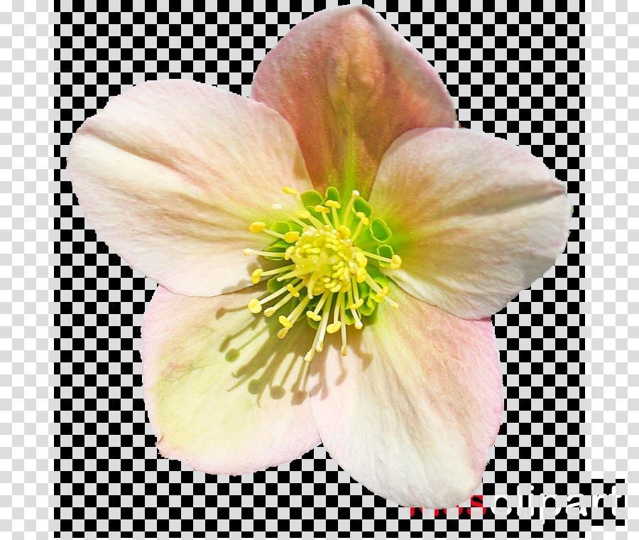 Helleborus clipart svg freeuse download Download Hellebore clipart Helleborus orientalis Helleborus ... svg freeuse download