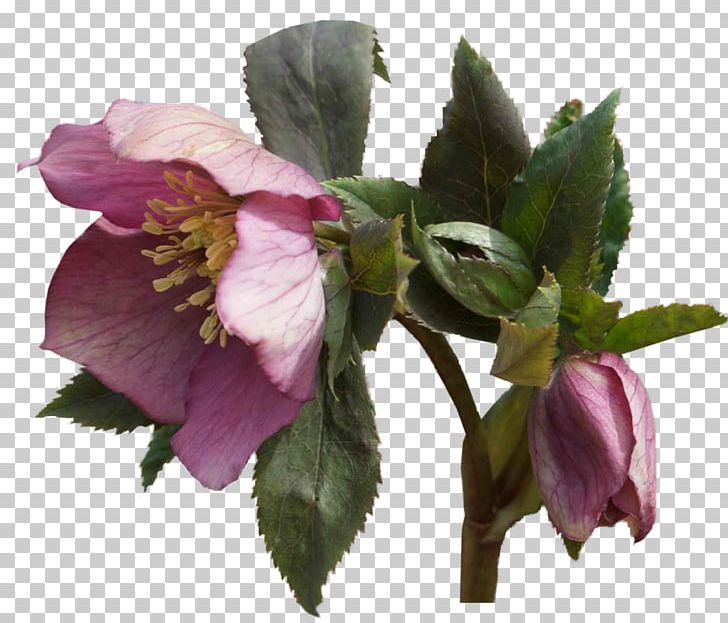Helleborus clipart image free stock Helleborus Niger Flower Garden Roses Plant PNG, Clipart ... image free stock