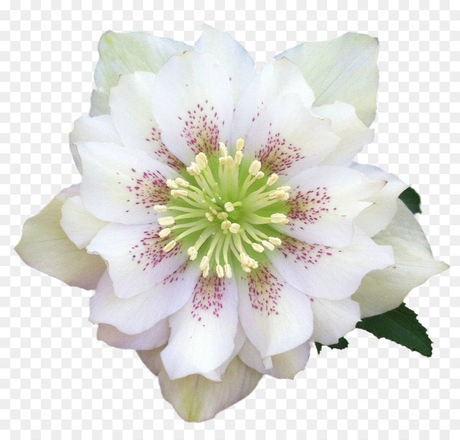 Helleborus clipart black and white download Flowers Clipart Background png download - 1083*1028 - Free ... black and white download