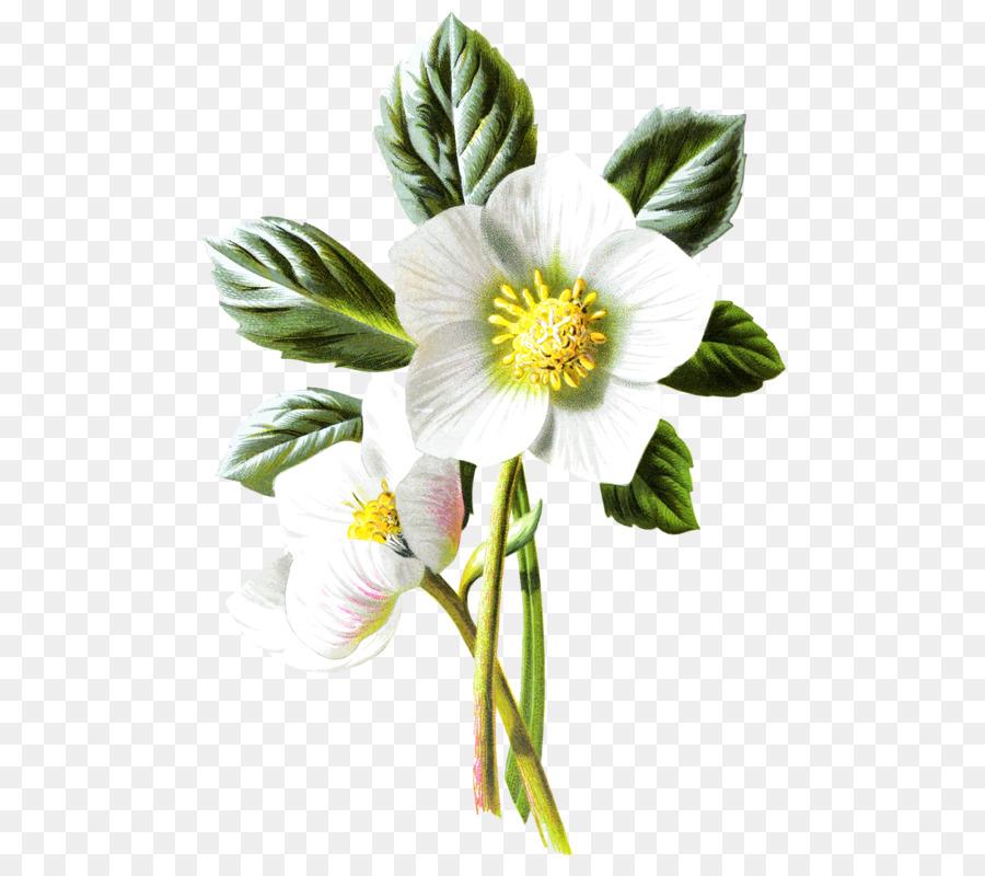 Helleborus clipart clipart transparent download Flowers Clipart Background png download - 569*800 - Free ... clipart transparent download