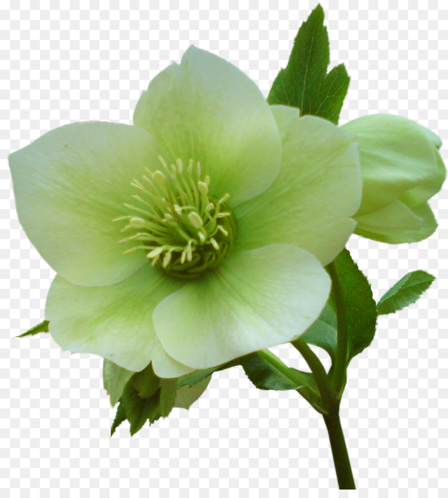 Helleborus clipart stock Christmas Stamp png download - 1071*1170 - Free Transparent ... stock
