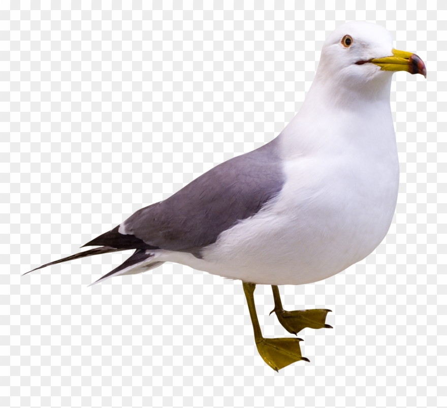 Herring gull clipart picture free Gull Png Free Image Download Clipart (#3099286) - PinClipart picture free