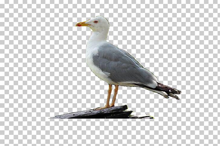 Herring gull clipart svg royalty free library Great Black-backed Gull Bird European Herring Gull PNG, Clipart ... svg royalty free library