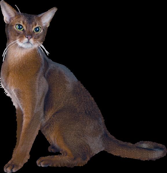 Himalayan persian cat clipart clip art library stock Pin by Pirjo Humpas on Transparentit | Pinterest | Cat clipart, Cat ... clip art library stock