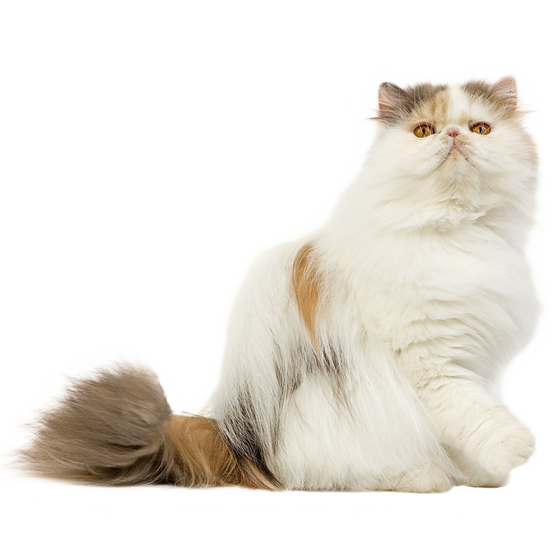 Himalayan persian cat clipart clip art transparent download  clip art transparent download