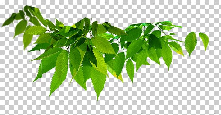 Hojas verdes clipart clip art black and white library Planta de hoja verde, hoja color verde, hojas verdes. PNG ... clip art black and white library
