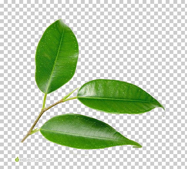 Hojas verdes clipart png transparent download Hoja verde árbol planta, delicadas hojas verdes PNG Clipart ... png transparent download