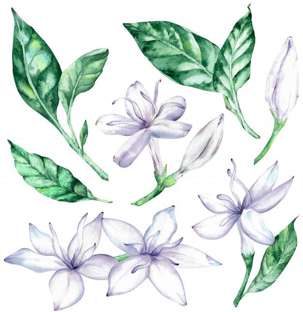 Hojas verdes clipart picture royalty free Clipart acuarela de flores de café con leche y hojas verdes ... picture royalty free