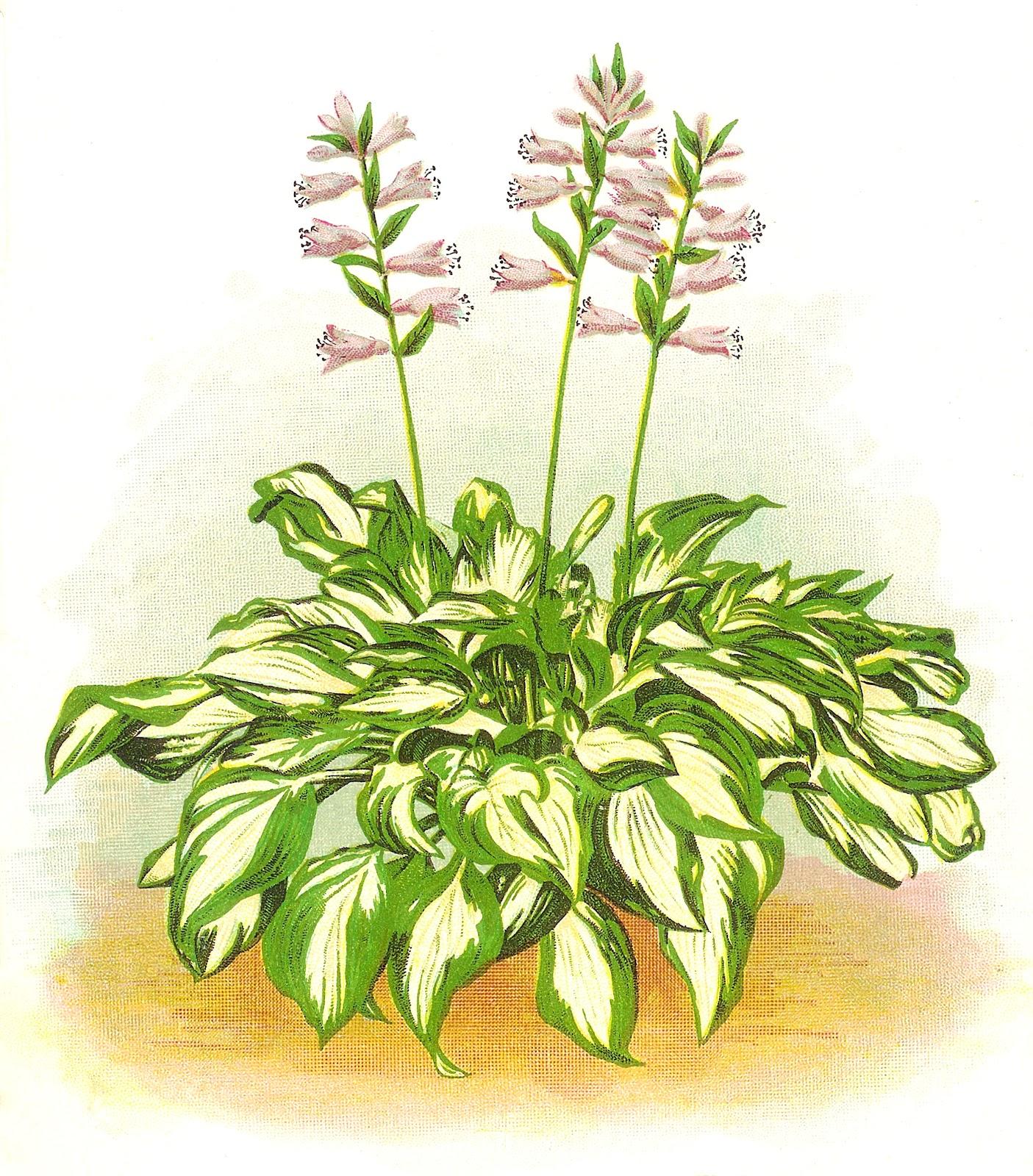 Hosta clipart clip art freeuse Plants cliparts - Clip Art Library clip art freeuse