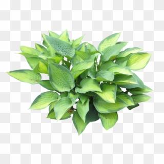 Hosta clipart clip royalty free stock Hosta Plant Silhouette Google Search Textureyes - Hosta Png ... clip royalty free stock