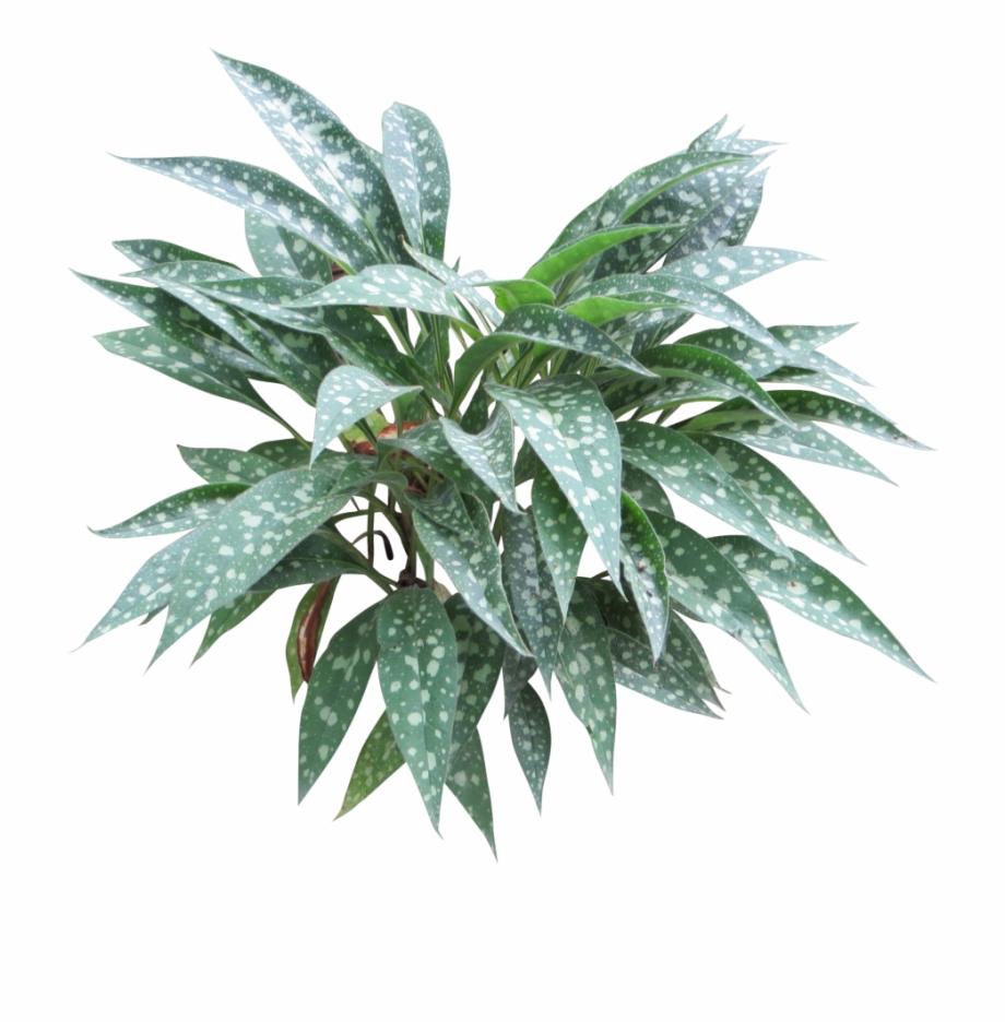 Hosta clipart clip art transparent stock Lungwort-1024x1024 Begonia Maculata, Immediate Entourage ... clip art transparent stock