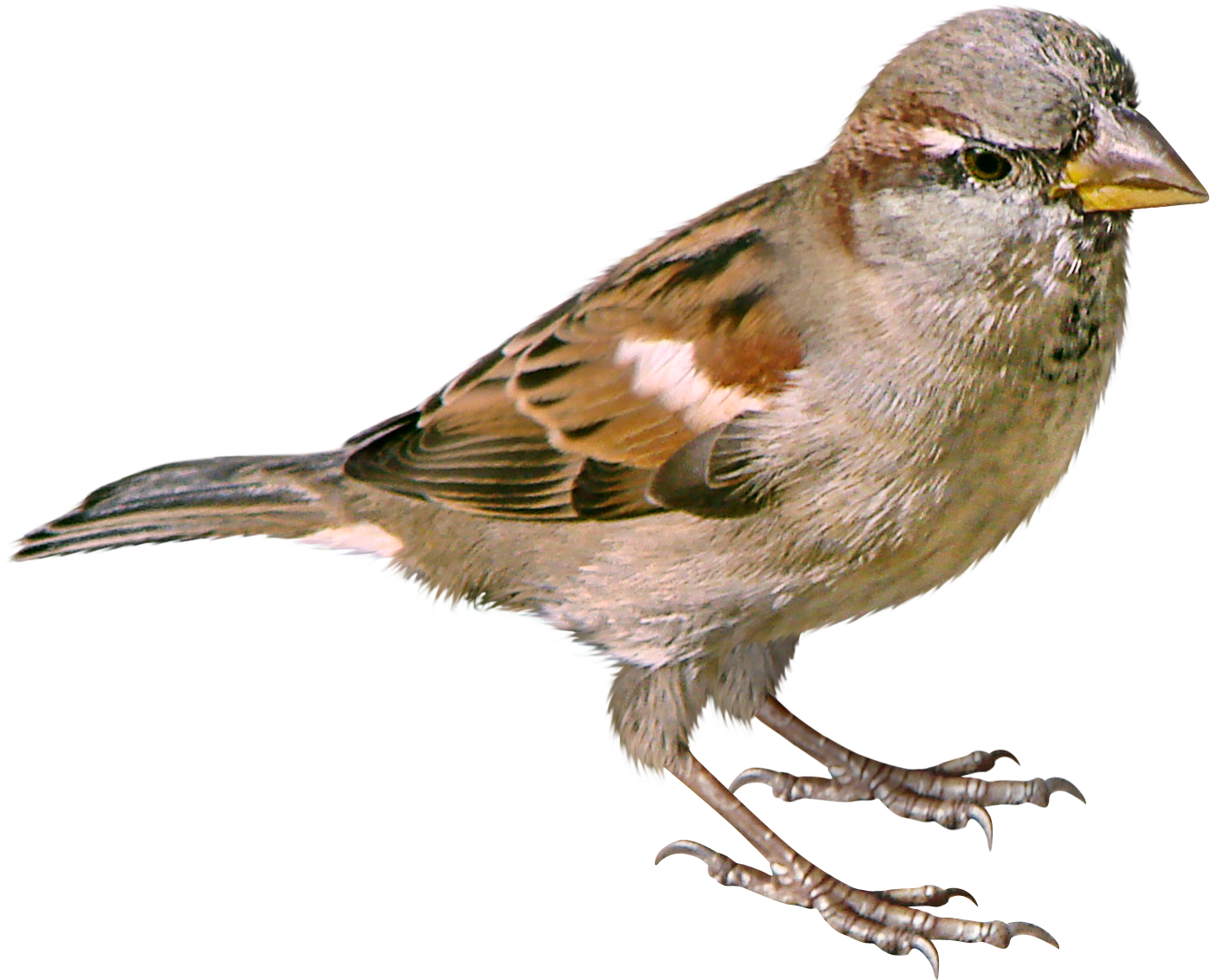 House sparrow clipart png free download Sparrow PNG images free download png free download
