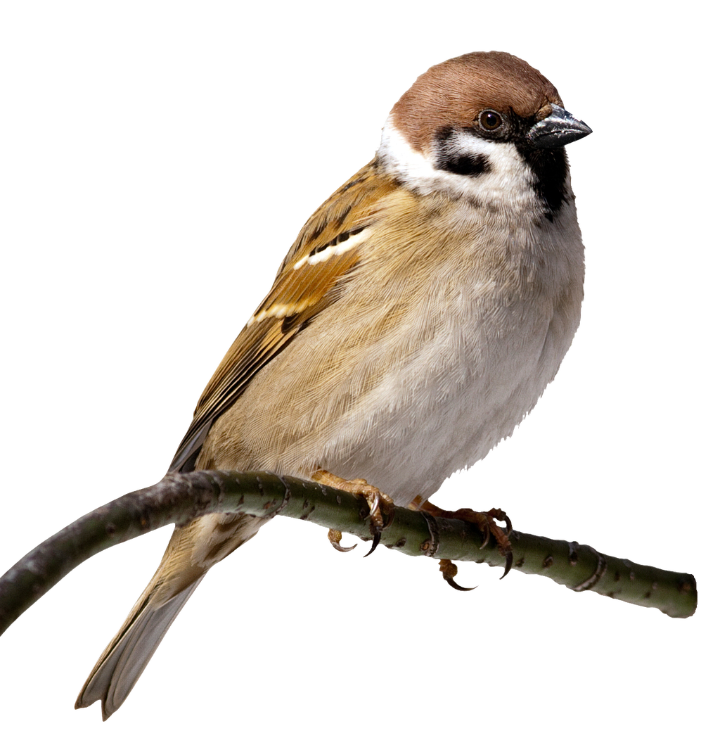 House sparrow clipart picture stock House Sparrow Bird Clip art - sparrow 1024*1049 transprent Png Free ... picture stock