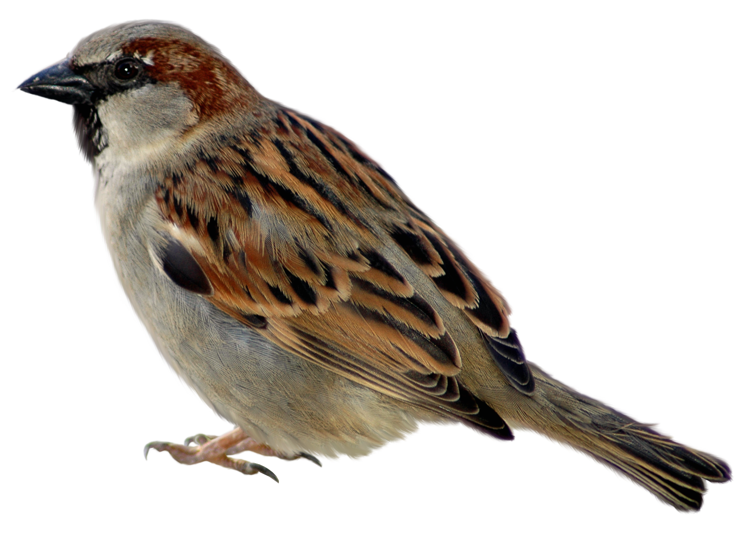 House sparrow clipart jpg freeuse Sparrow PNG Picture Clipart | Gallery Yopriceville - High-Quality ... jpg freeuse
