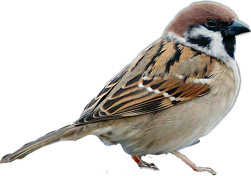 House sparrow clipart png download sparrow bird - Sticker by Taliafera png download