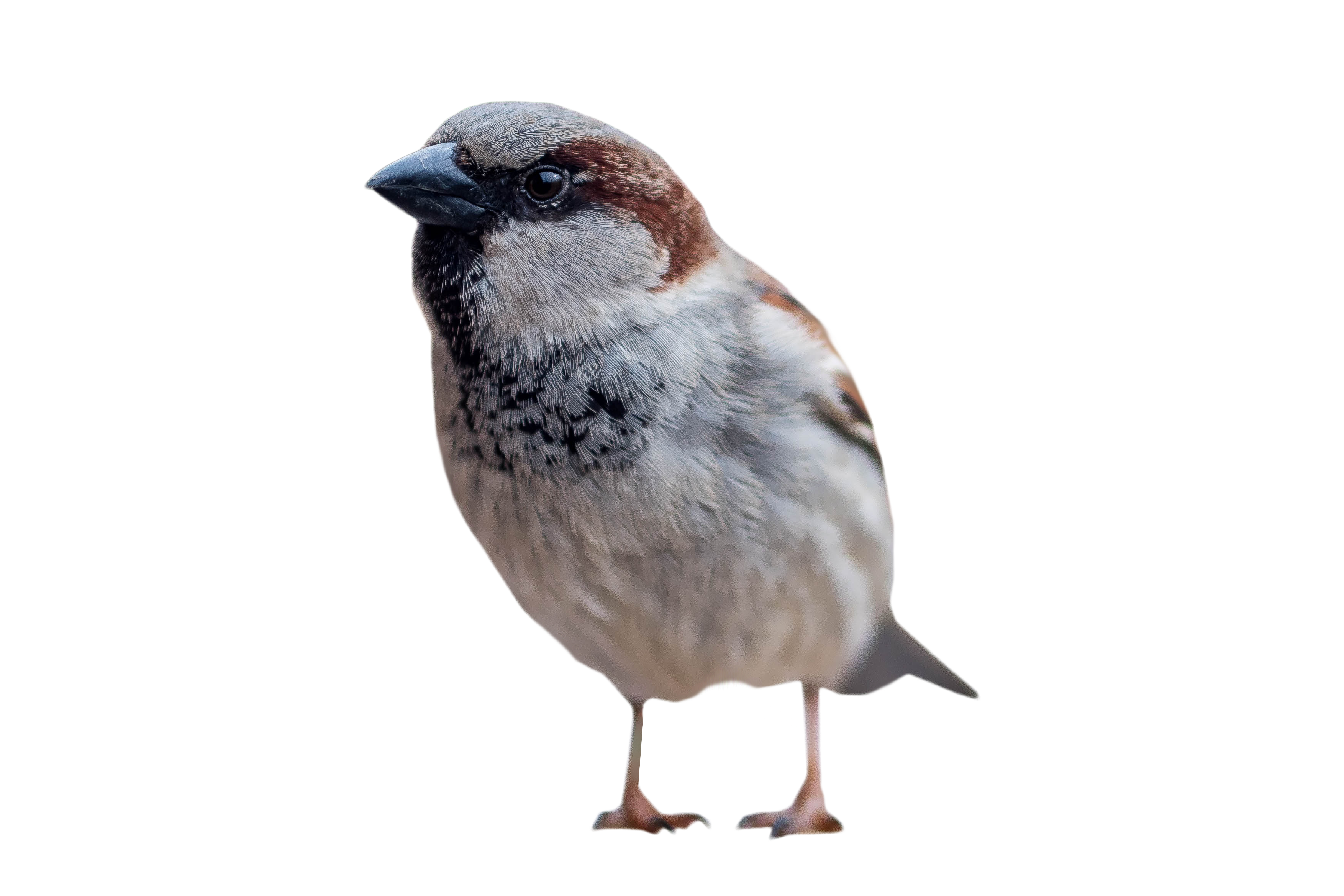 House sparrow clipart image library stock Sparrow Standing PNG Image - PurePNG | Free transparent CC0 PNG ... image library stock