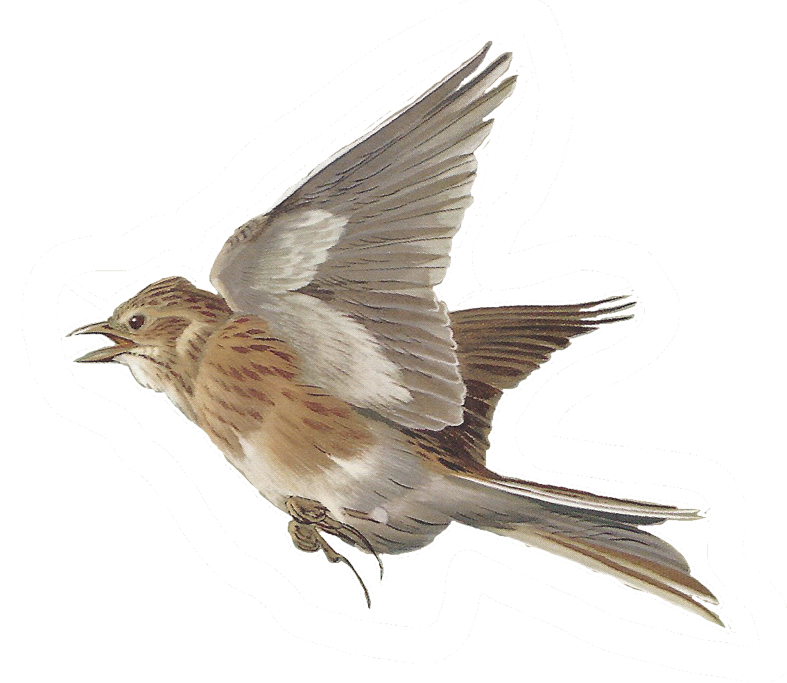 House sparrow clipart image royalty free Free Images of Birds | Pinterest | Bird, Paintings and Art illustrations image royalty free
