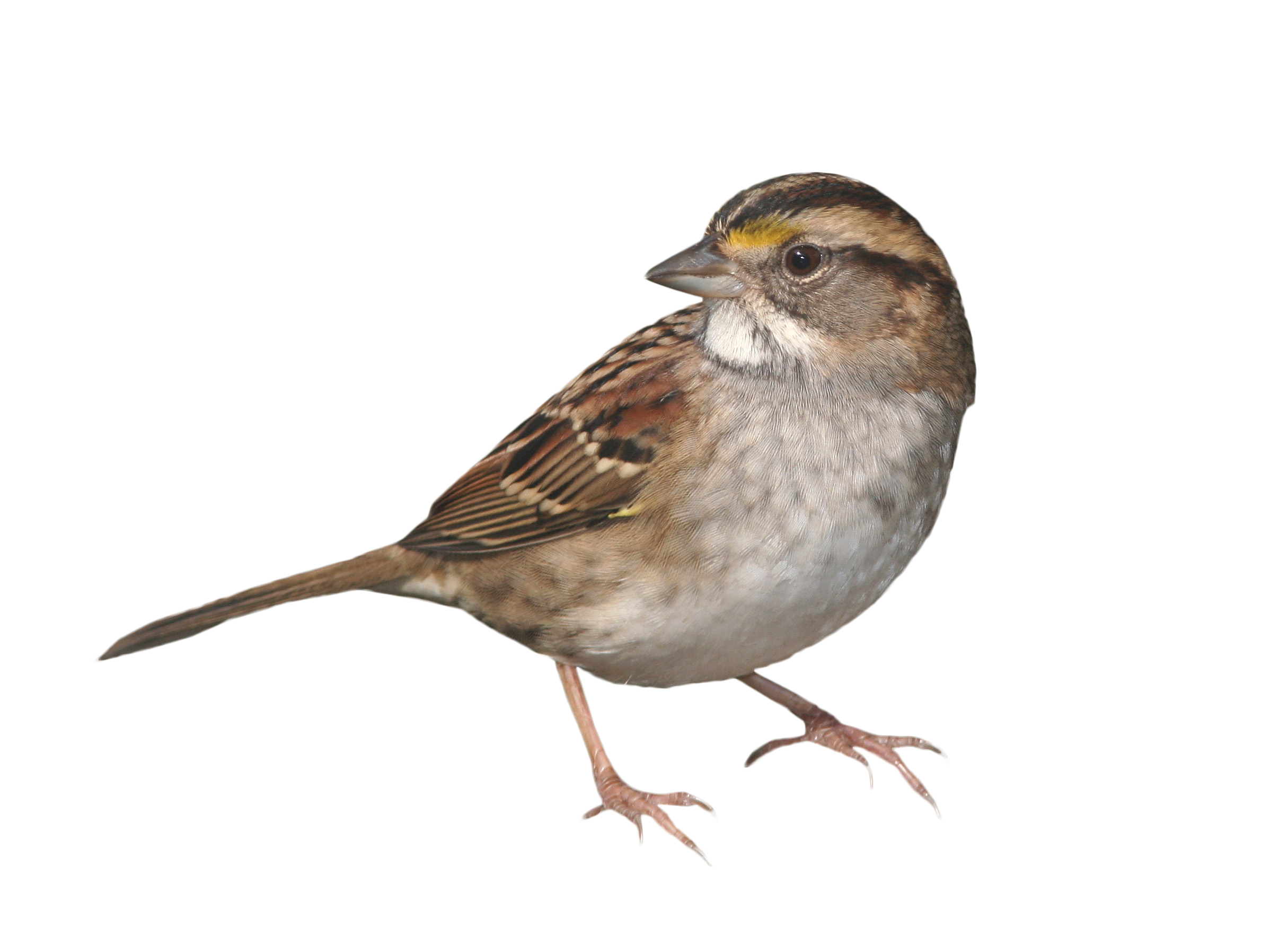 House sparrow clipart clip freeuse stock Sparrow Standing PNG Image - PurePNG | Free transparent CC0 PNG ... clip freeuse stock