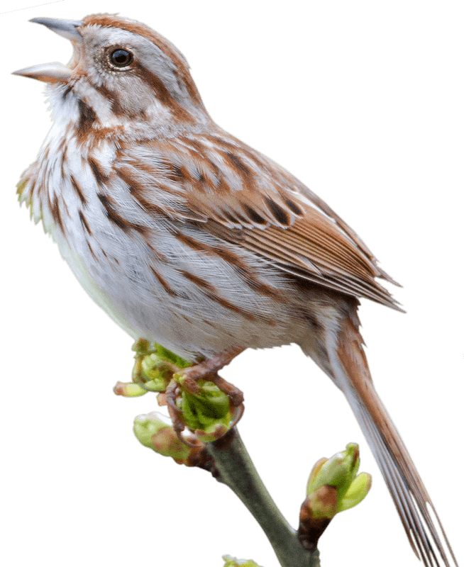 House sparrow clipart png royalty free stock Sparrow PNG images free download png royalty free stock