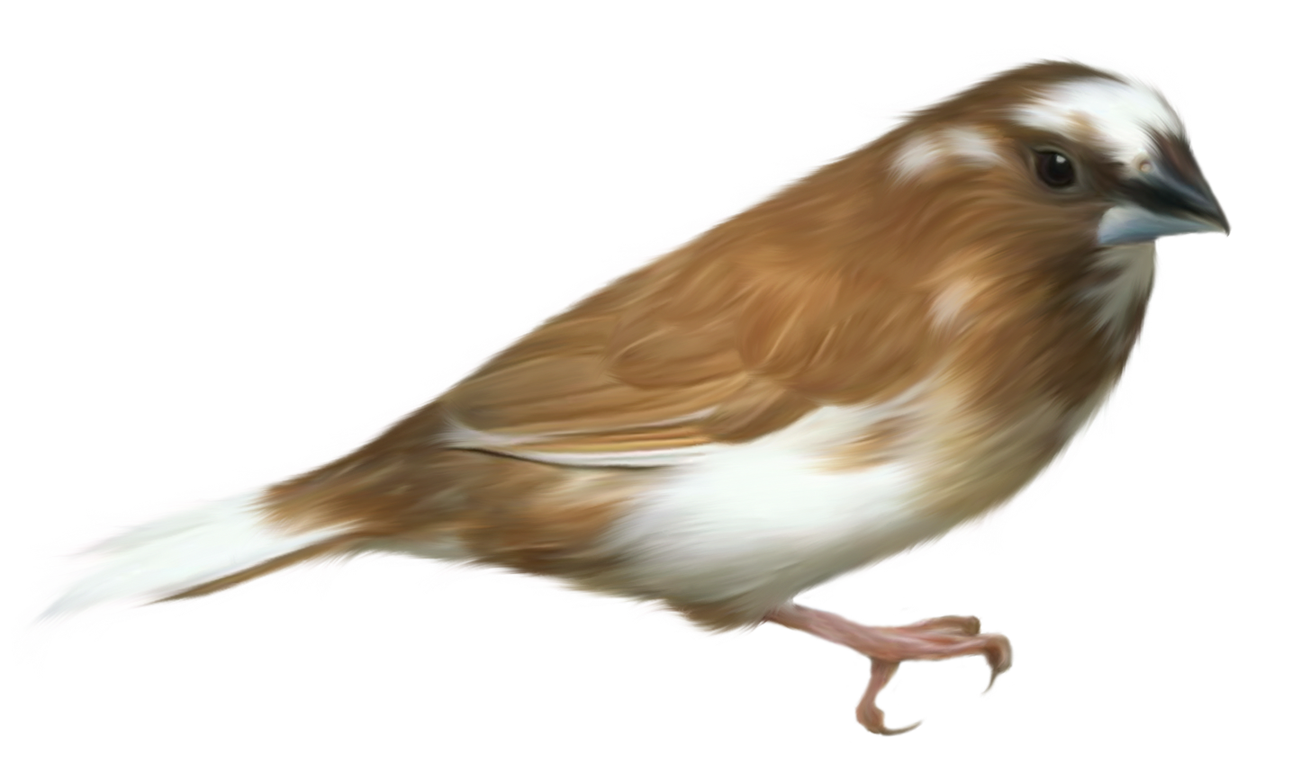 House sparrow clipart clip library library Small Brown Bird Transparent PNG Clipart Picture | Gallery ... clip library library