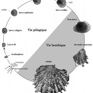Huitres clipart black and white free graphic black and white Schéma du cycle de vie de l\'huître perlière P. margaritifera ... graphic black and white
