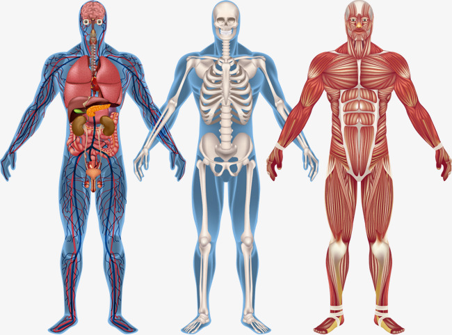 Human body model clipart clip free stock Human Body Model Png & Free Human Body Model.png Transparent Images ... clip free stock