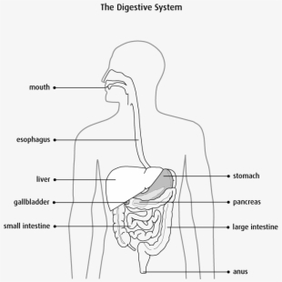 Human digestive system clipart black and white vector black and white download Docx - Frog Digestive System Diagram - Download Clipart on ClipartWiki vector black and white download