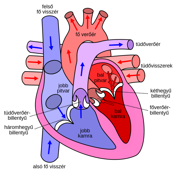 Human heart clipart labeled svg transparent File:Diagram of the human heart hu.svg - Wikipedia svg transparent