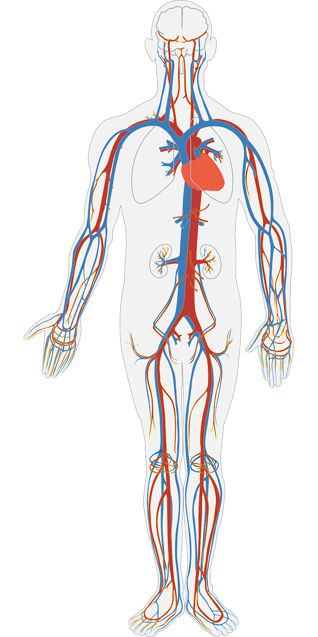 Human heart clipart blood flow graphic Heart Infographic - by Pooja Sashital [Infographic] graphic