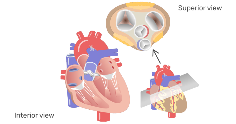 Human heart clipart blood flow vector download Heart Valves: Anatomy and Function vector download