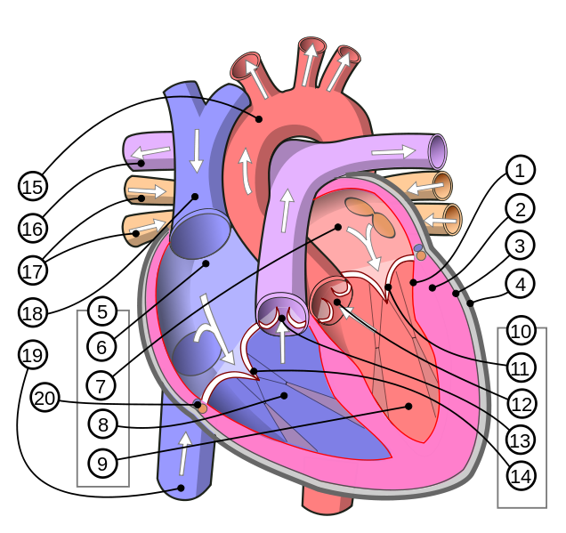 Human heart clipart labeled clip art free Human Heart Diagram | English: Diagram of the human heart ... clip art free