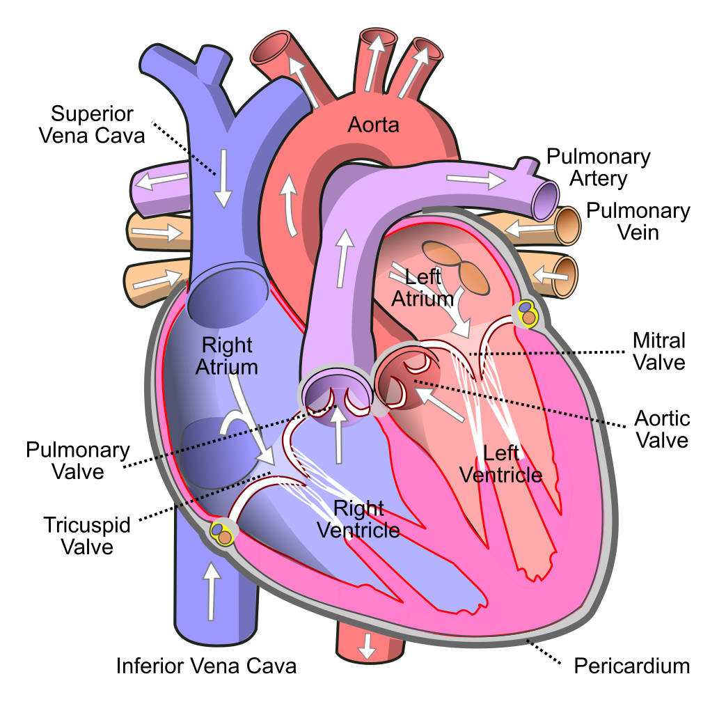 Human heart clipart labeled image transparent download File:Diagram of the human heart (cropped).svg - Wikimedia Commons image transparent download