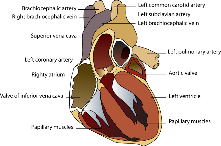 Human heart clipart labeled picture freeuse library Index of /mk/MKMedSchool/medschool/anatomy pics picture freeuse library