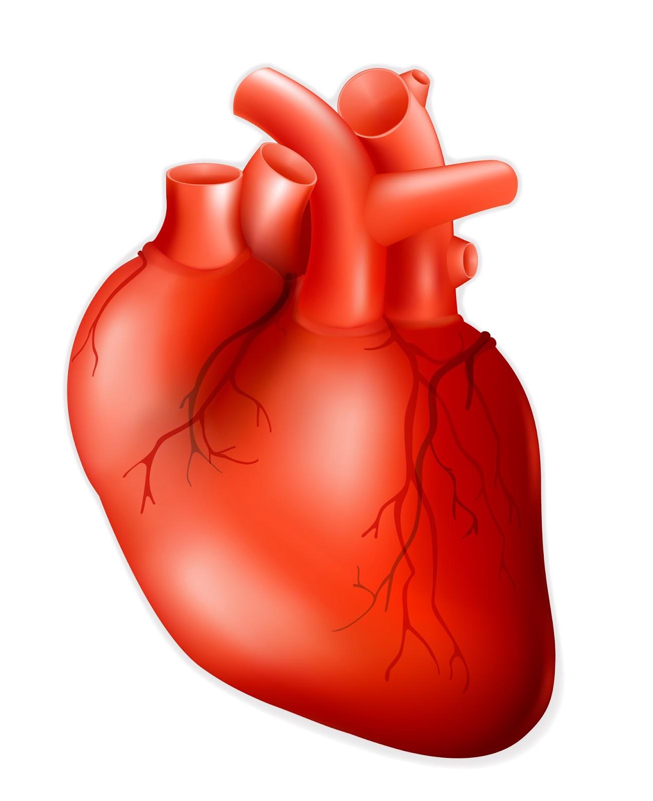Human heart cliparts clip freeuse stock Human heart real heart clipart kid - ClipartBarn clip freeuse stock