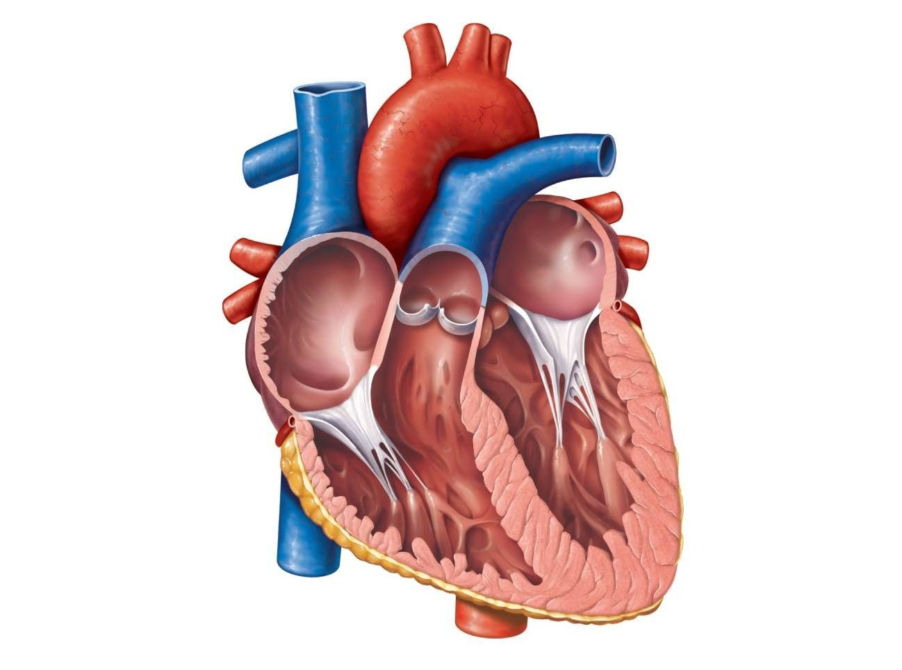 Human heart cliparts free library Anatomical Heart Diagram Anatomy Of The Heart Unlabeled Clipart Best ... free library