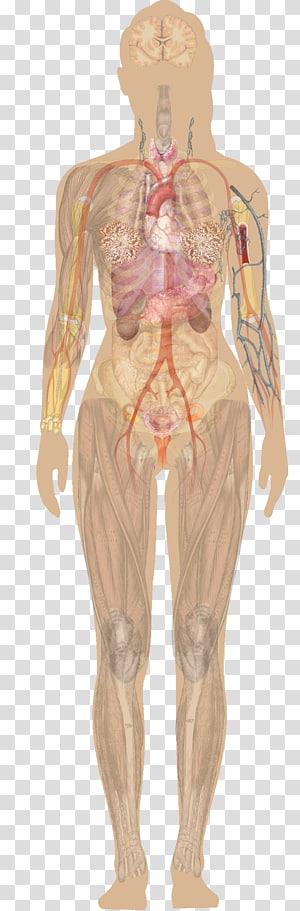 Library Of Human Internal Organs Diagram Freeuse Stock Png