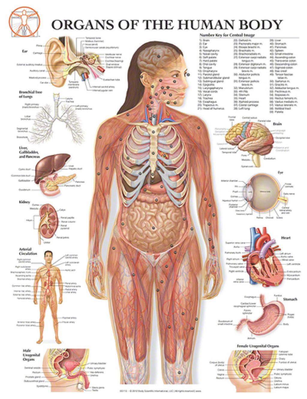 Human internal organs diagram clipart graphic freeuse stock Free Human Body Organs, Download Free Clip Art, Free Clip Art on ... graphic freeuse stock