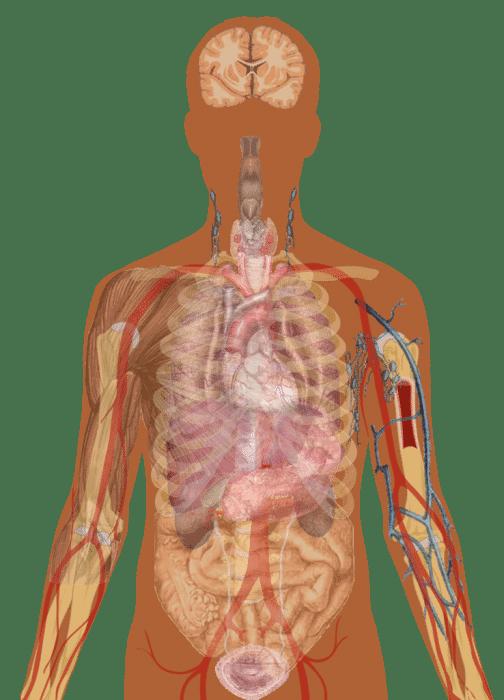 10 Human Internal Organs Diagram Clipart For Free Download
