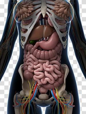 Human internal organs diagram clipart image transparent stock Internal Organs of the Human Body Anatomical Chart Anatomy Organ ... image transparent stock