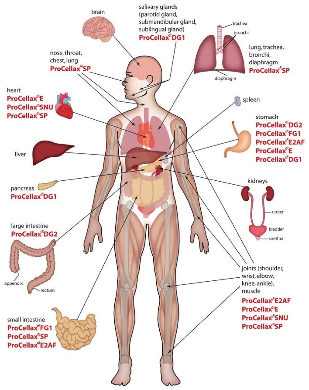 Human internal organs diagram clipart image royalty free stock Human Body Anatomy Internal Organs Diagram   Stay Fit and Strong ... image royalty free stock