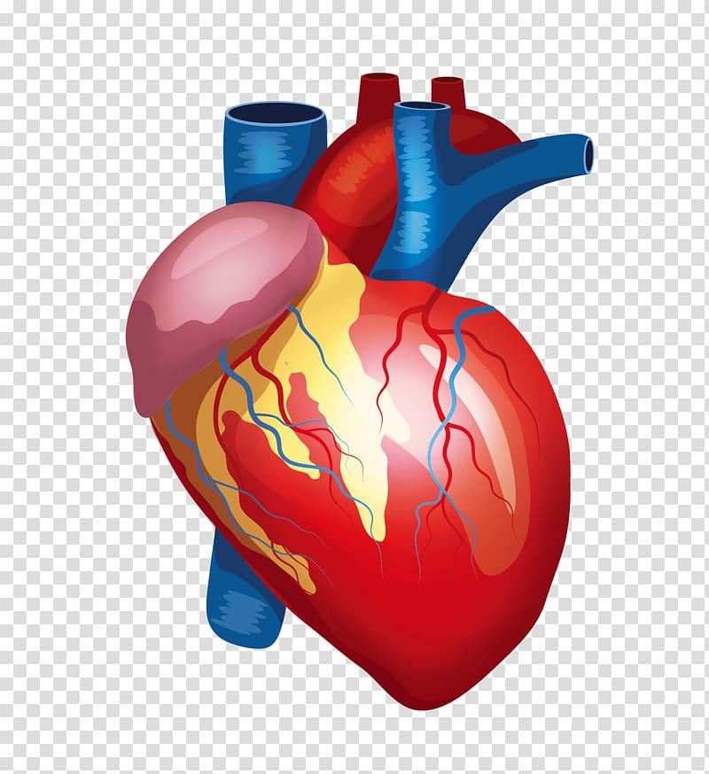 Human kidney clipart picture transparent library Human heart illustration, Heart Liver Kidney Human body Organ, Human ... picture transparent library