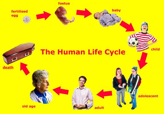 Human life cycle clipart banner freeuse download 17 Best images about TEACH- health and PE on Pinterest | Who am i ... banner freeuse download