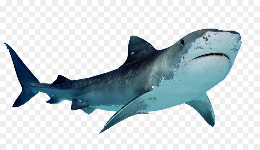 Hungry shark evolution clipart jpg Great White Shark Background png download - 1011*564 - Free ... jpg