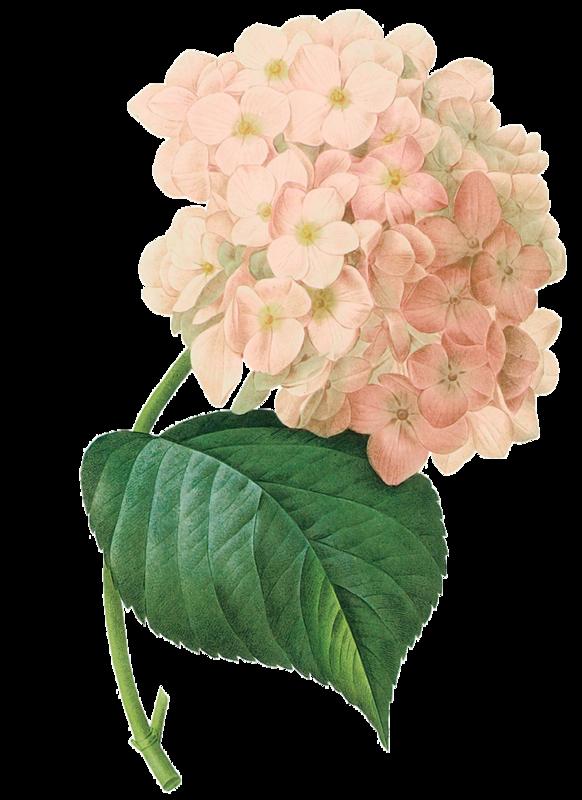 Hydrangea flower clipart clip art black and white download fleurs,flores,flowers,bloemen,png   Kwiaty transparent   Pinterest clip art black and white download