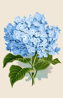 Hydrangea white clipart clip royalty free 10 Botanical Hydrangea Images and Prints! - The Graphics Fairy clip royalty free