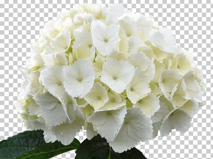 Hydrangea white clipart vector royalty free French Hydrangea Hydrangea Arborescens White Flower Green PNG ... vector royalty free