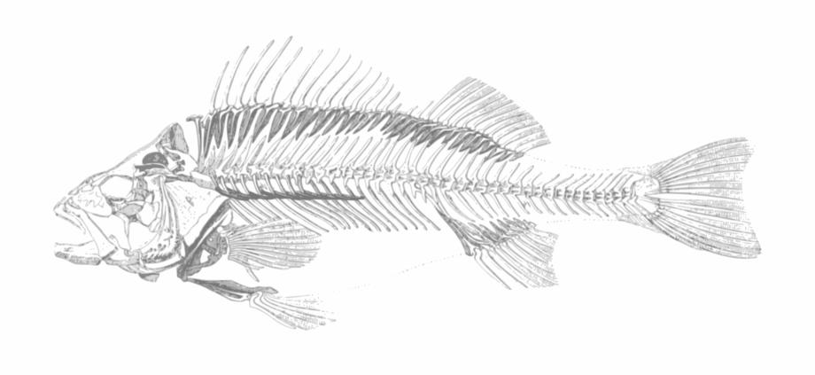 Ichthyology clipart royalty free stock Fish Bone Skeleton Bony Fishes Ichthyology - Transparent ... royalty free stock